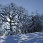 Una quercia tra la bianca neve