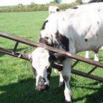 Mucca e scala
