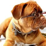 Razza cane più intelligente