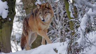 Un lupo in montagna tra la neve. Perché si dice in bocca al lupo?