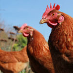 Dei polli disposti in fila