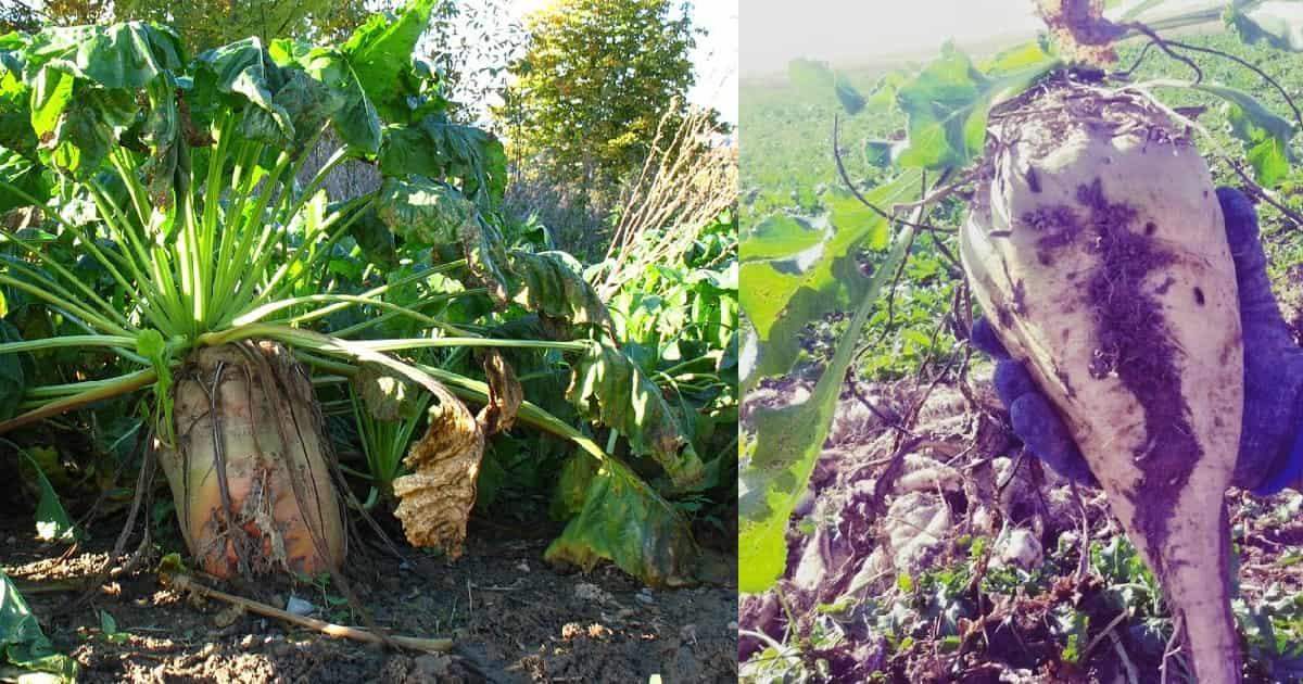 Due immagini di barbabietole da zucchero, nel terreno ed appena estratta.