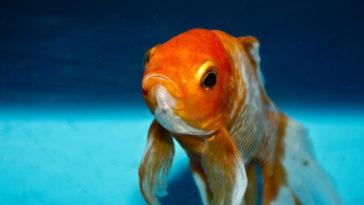 Un pesce arancione nel mare, chissà se beve acqua