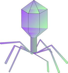 La struttura di un tipico virus batteriofago.