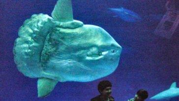 Mola mola in acquario.