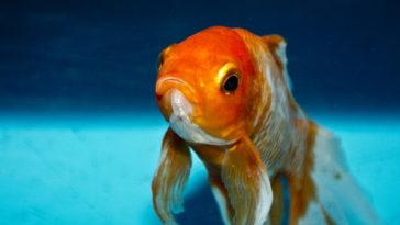 Un tipico pesce rosso