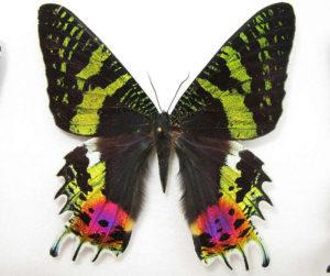 Una falena del Madagascar, attiva di giorno e al crepuscolo, con colori che tipicamente associeremmo ad una farfalla.