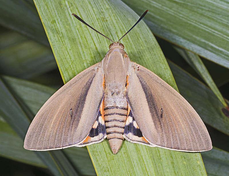 """Un esemplare femmina di Paysandisia archon, falena """"importata"""" dall'America."""