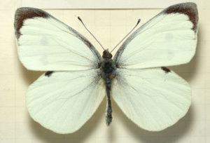 Una farfalla cavolaia, dai colori piatti. Notate le antenne clavate.