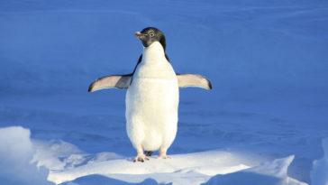 Un pinguino cammina tra i ghiacciai, ha le ginocchia?