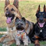 Un doberman, uno yorkshire e un pastore tedesco, hanno una diversa longevità