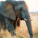 Elefante cammina nella sterpaglia