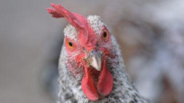 Una gallina che guarda in camera.