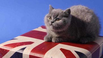 Gatto con bandiera inghilterra ha nove vite invece che sette