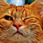 Gatto rosso ammicca facendo l'occhilino felice del fatto che ha sette vite