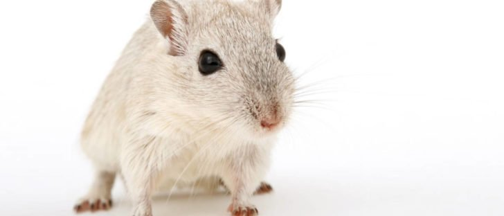 Topo bianco da laboratorio che viene utilizzato per esperimenti