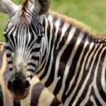 Primo piano di una zebra con strisce bianche e nere