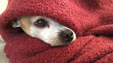 Chihuahua avvolto nelle coperte dato che è una razza che soffre molto il freddo