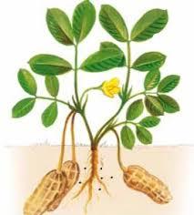 Una raffigurazione di una pianta di arachidi.