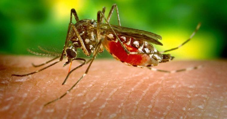 Una zanzara femmina che ha bevuto sangue da pelle di uomo