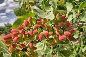 frutto pistacchi su albero pistacchio