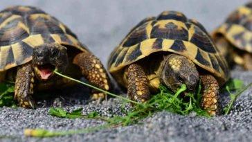 Due tartarughe di terra mangiano erba