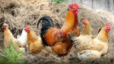 Polli in gruppo.